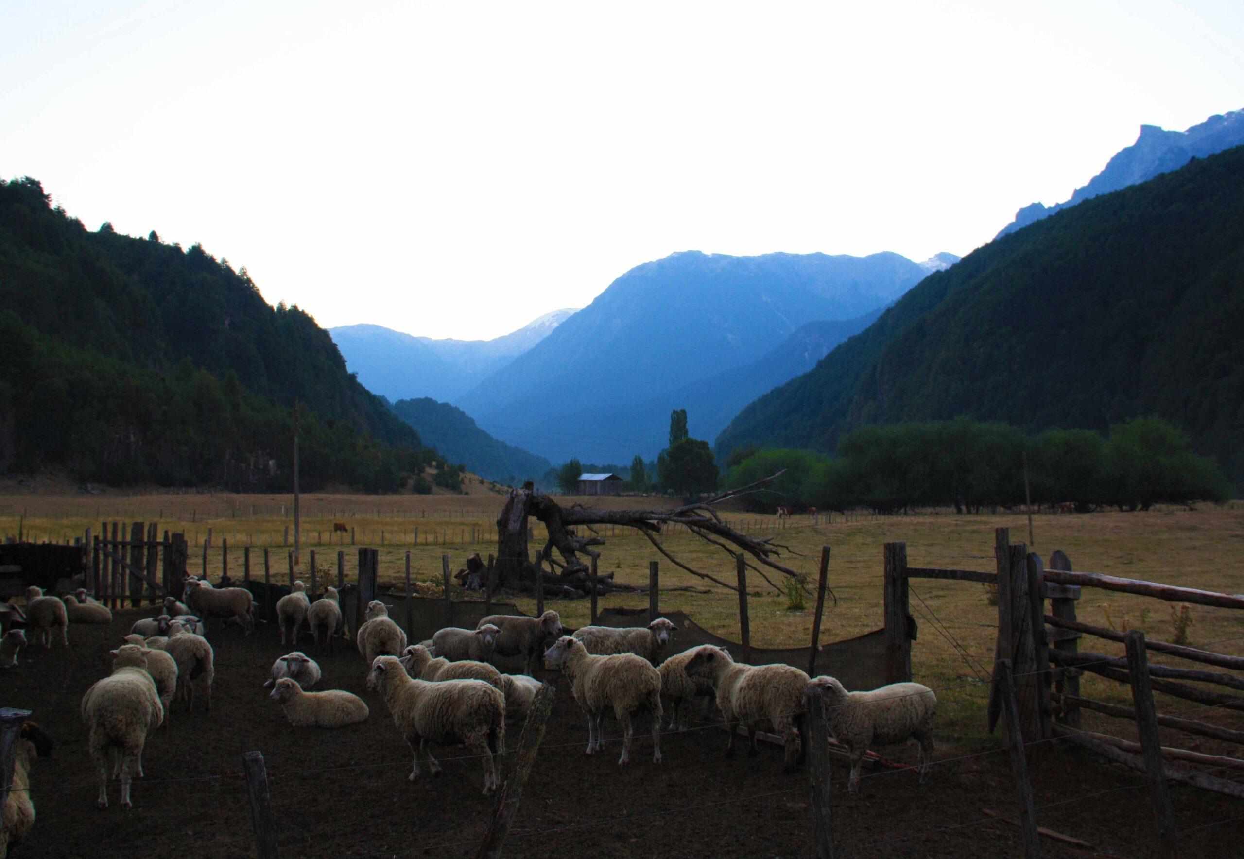 sheep farm mountain view Futaleufu