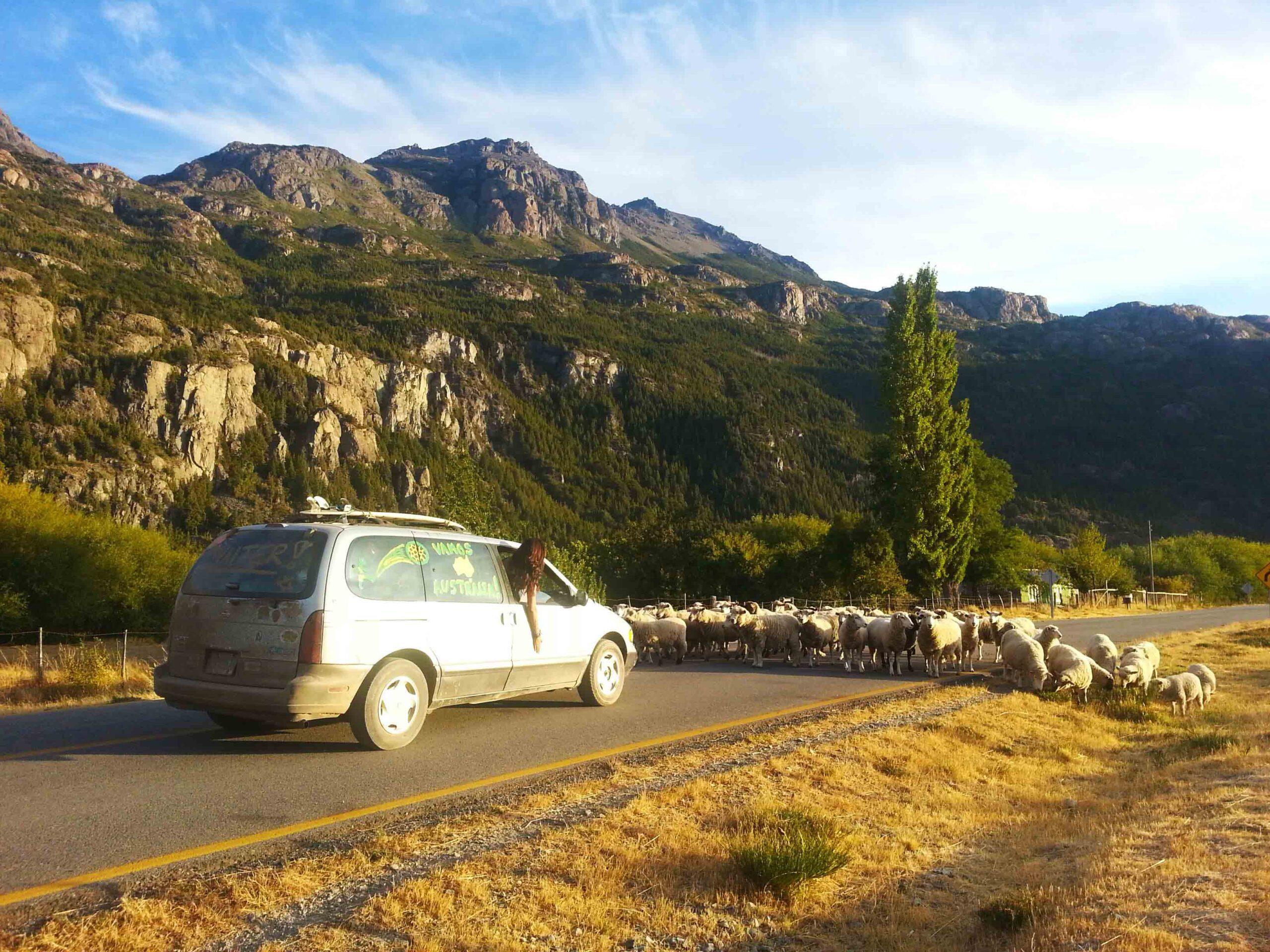 sheep blocking road Carretera