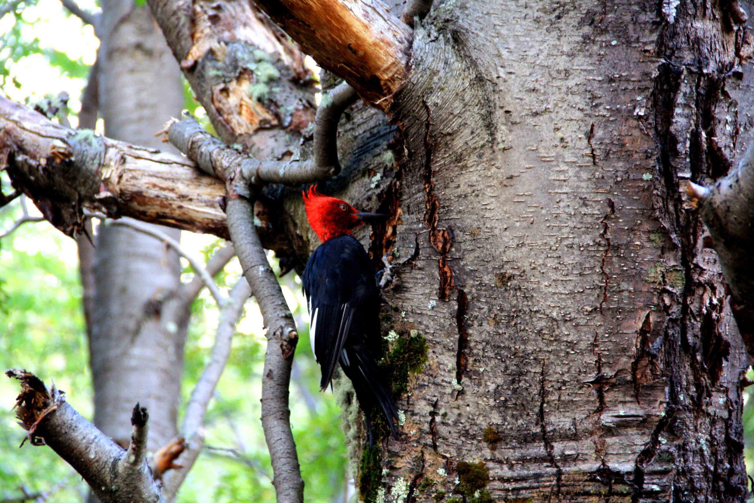 Woodpecker tree torres del paine
