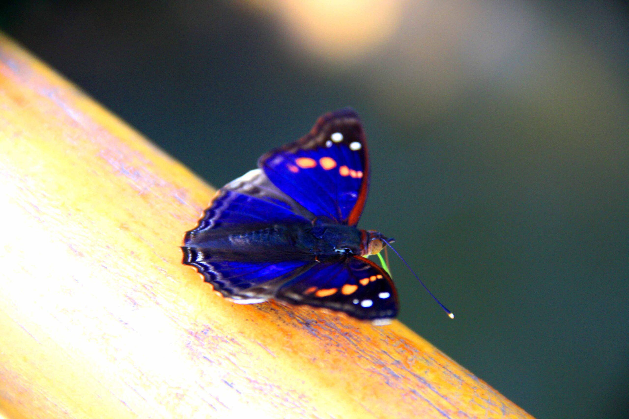 blue butterfly iguazu falls