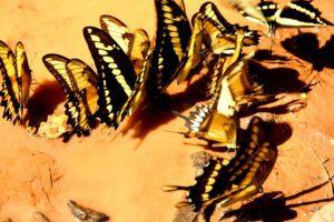 Butterflies at Iguazu Falls Argentina