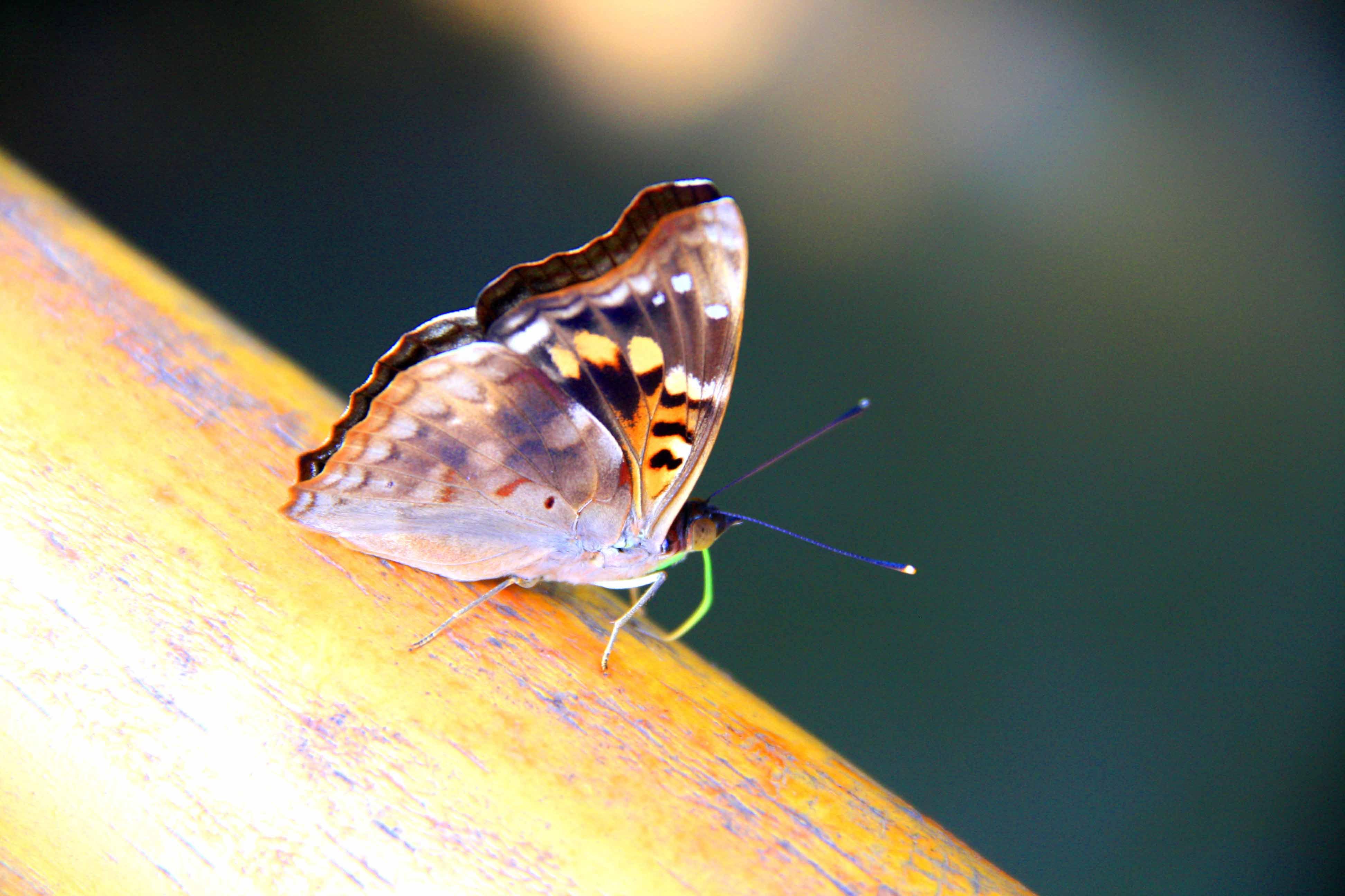 butterfly iguazu falls