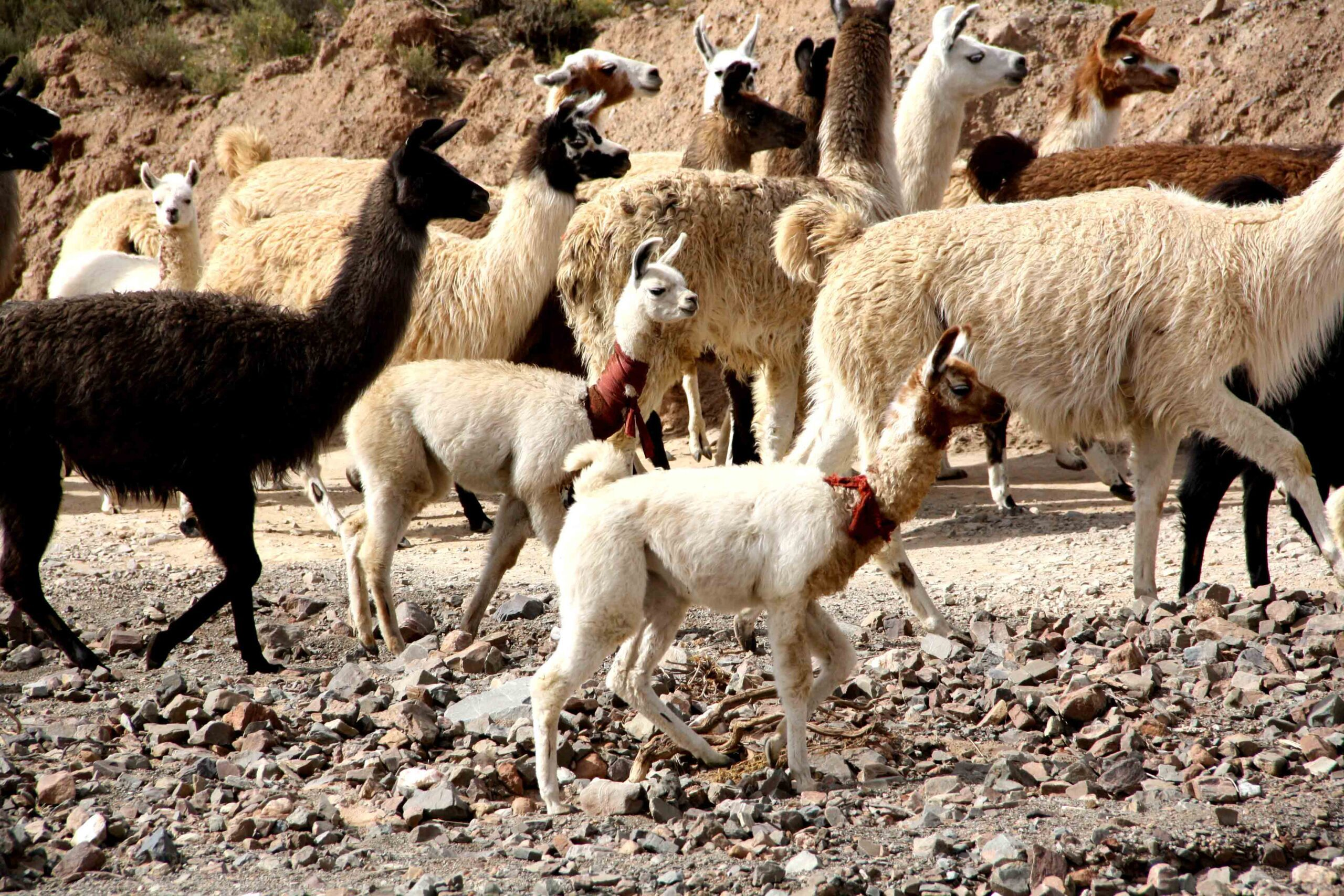herd of llamas uyuni tour