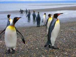 king pinguins tierra del fuego national park