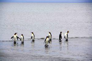 Pinguins on the beach of Porvenir Argentina