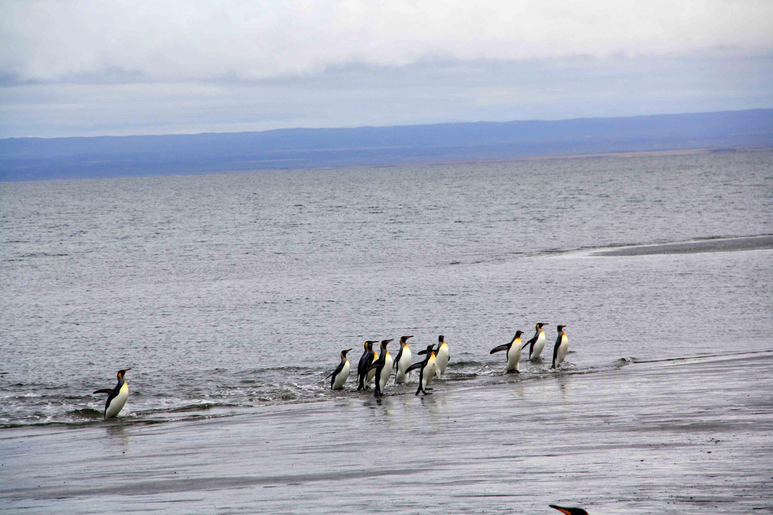 Swimming pinguïns in Porvenir Argentina