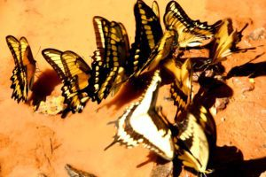 puddle of butterflies iguazu falls