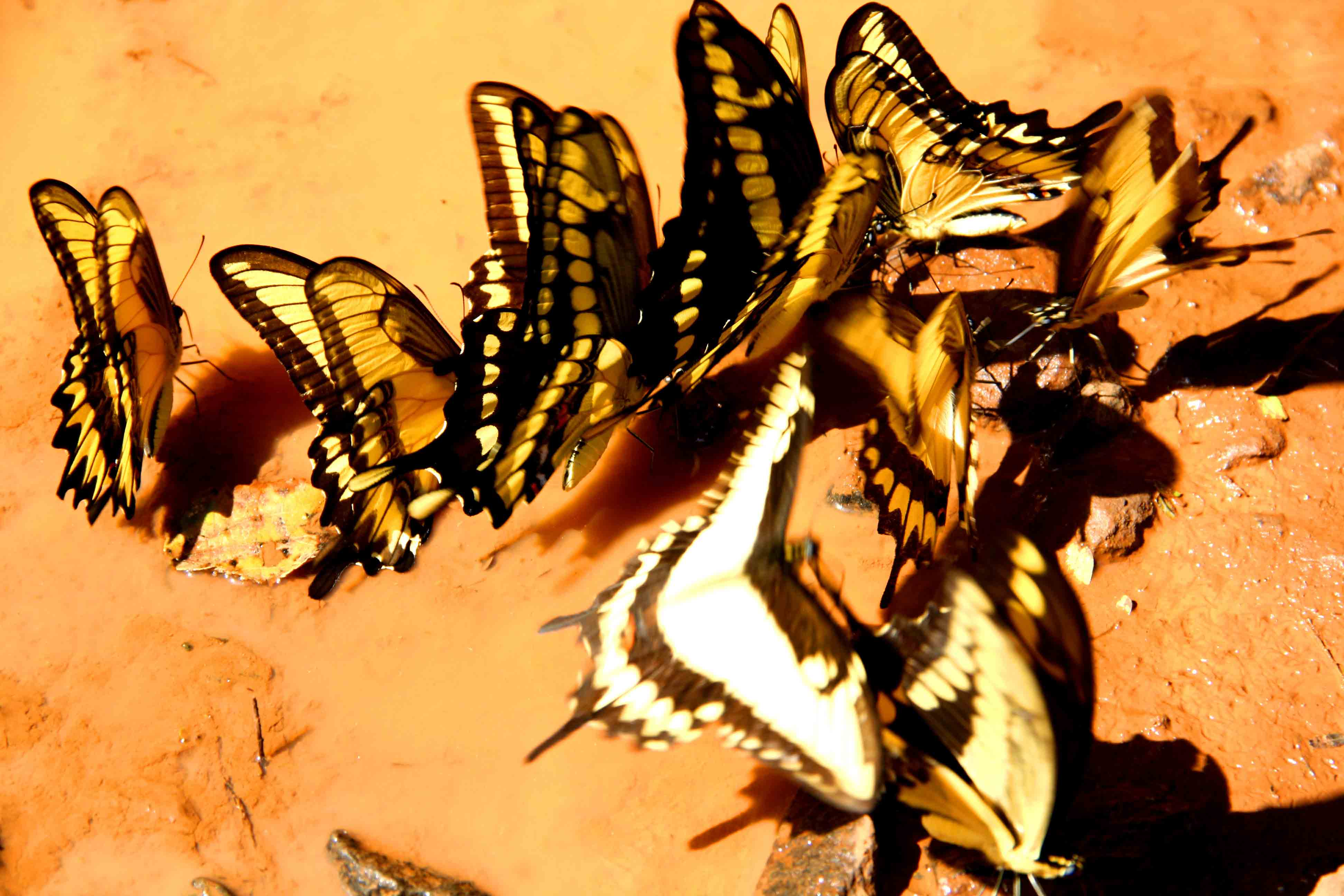 puddle of butterflies iguazu falls
