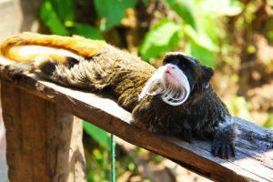 monkey on inca trail in Peru