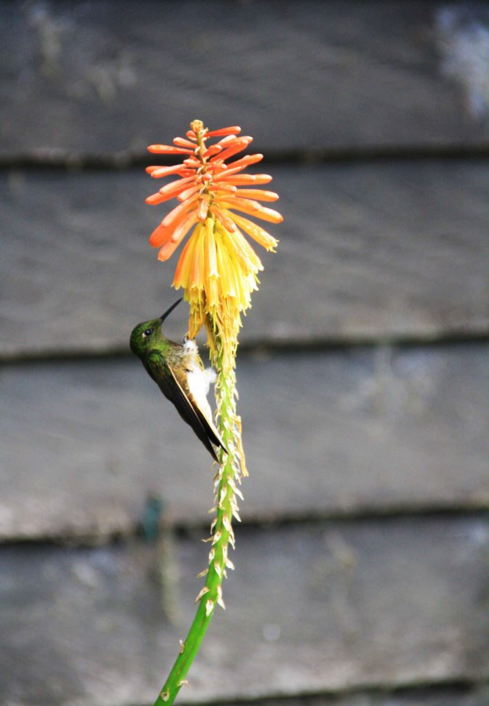 hummingbird flower