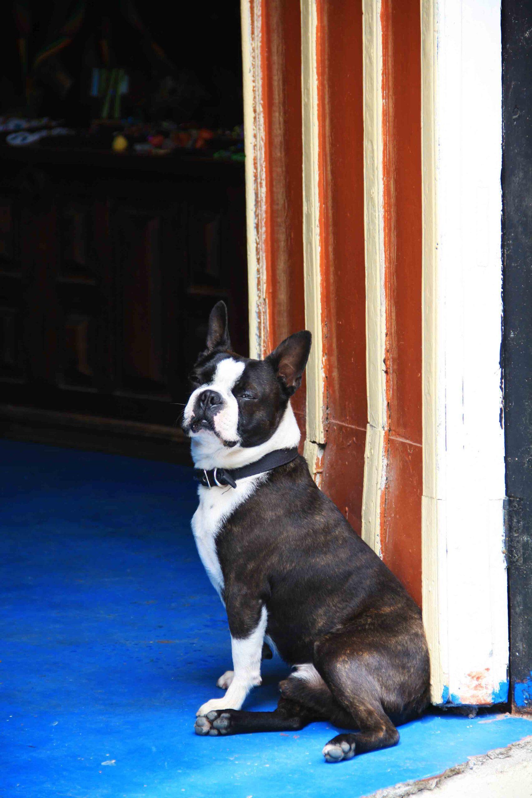 french bulldog posing in salento