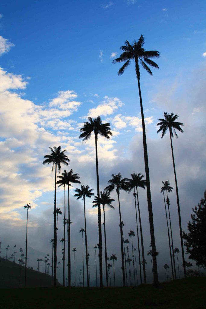 wax palms in the valle del cocora