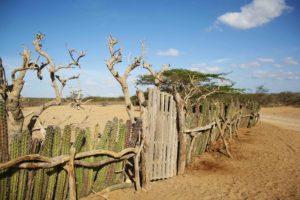 La Guajira fence of cactus