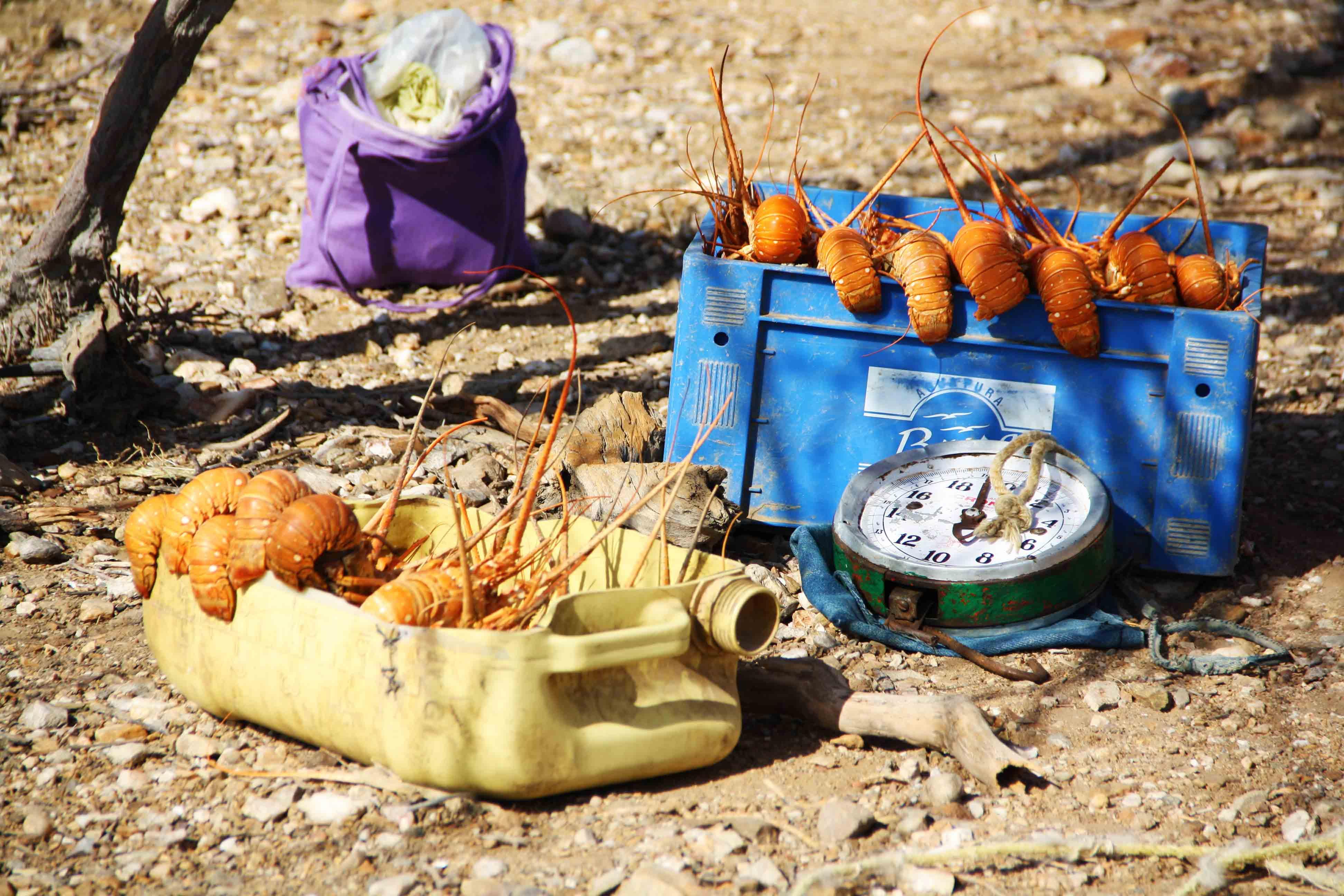 Lobsters La Guajira
