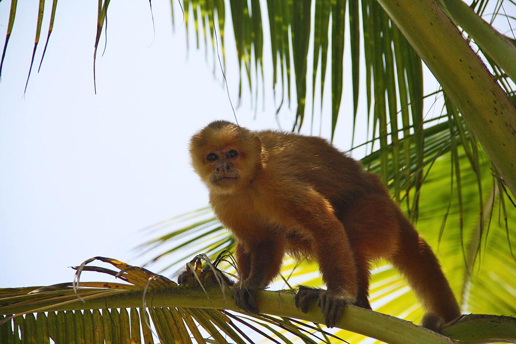monkey tree palomino