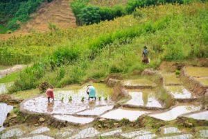 ella rice fields sri lanka