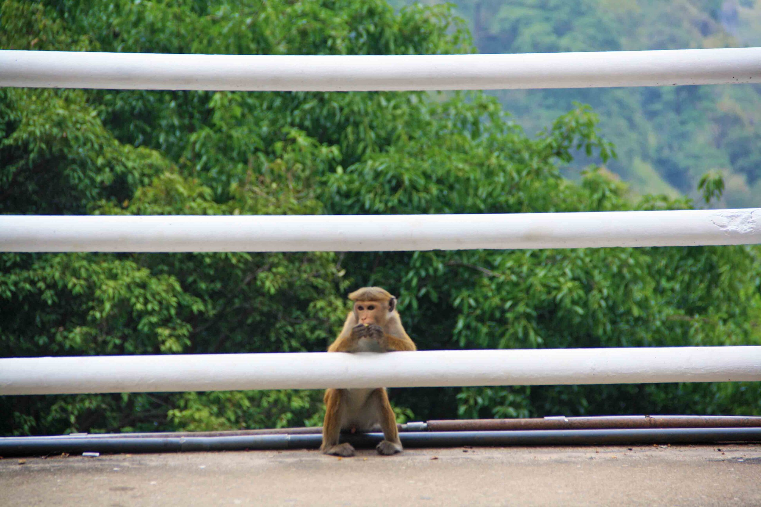 monkey ravana falls ella sri lanka