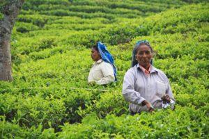 tea picker plantation ella sri lanka