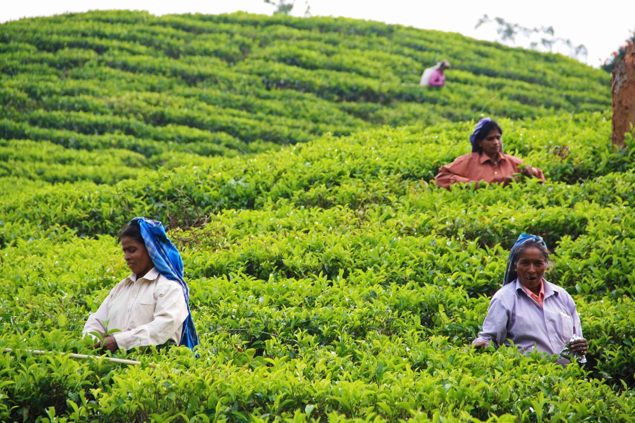 tea pickers plantation ella sri lanka