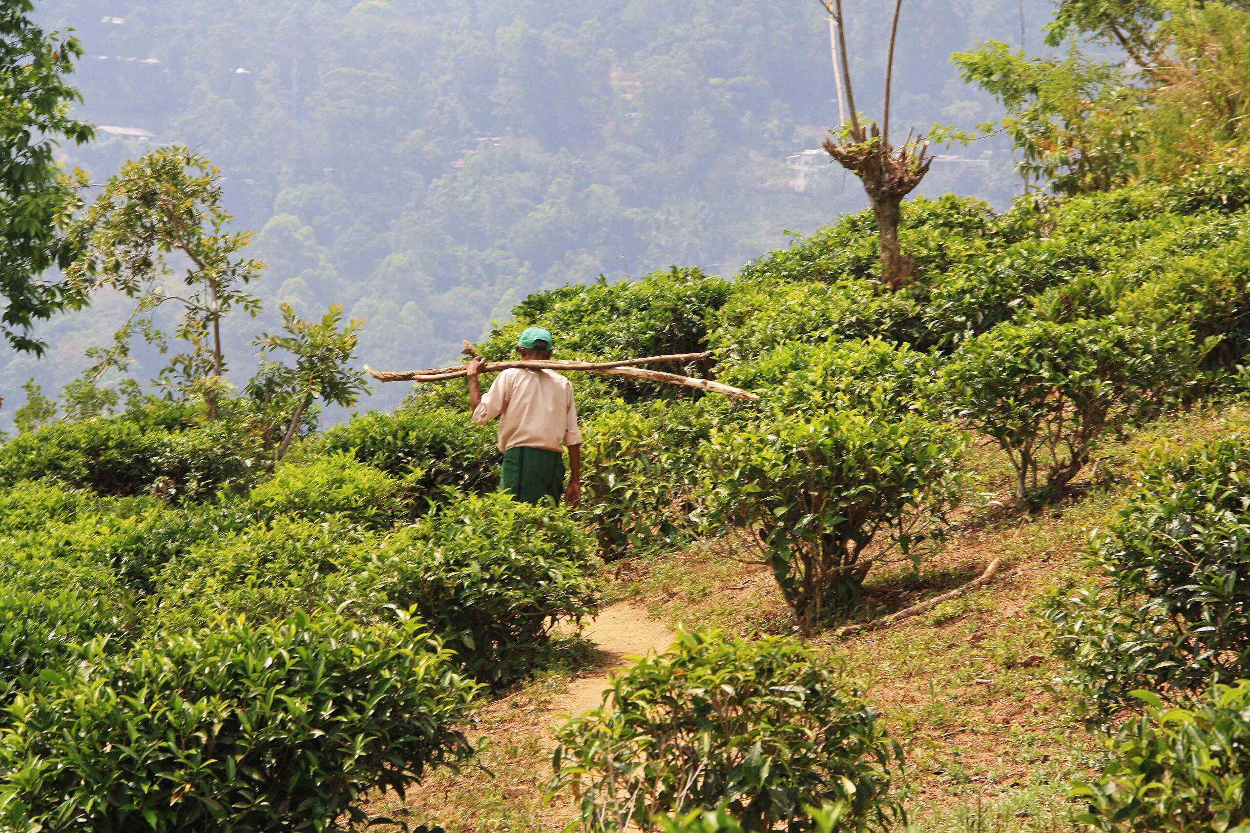 Tea plantation in Ella Sri Lanka