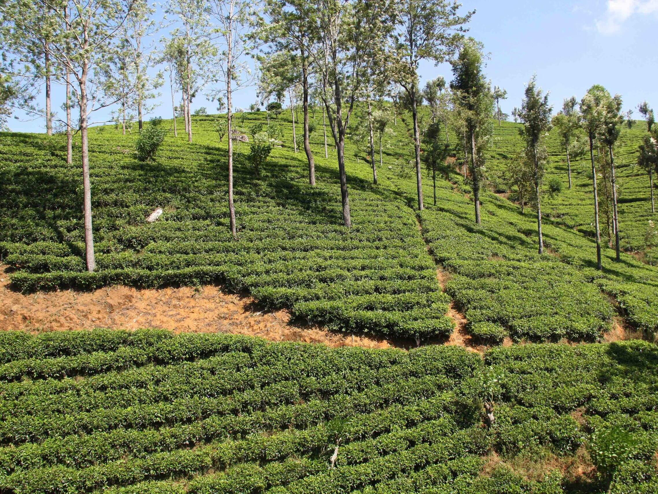 tea plantation view ella sri lanka