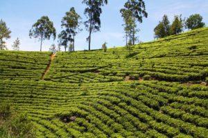 tea plantation view from the train kandy ella sri lanka
