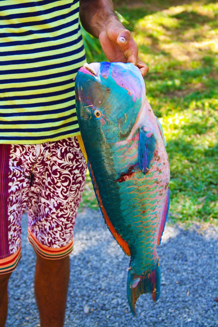 Parrot Fish at Hiriketiya Bay Sri Lanka