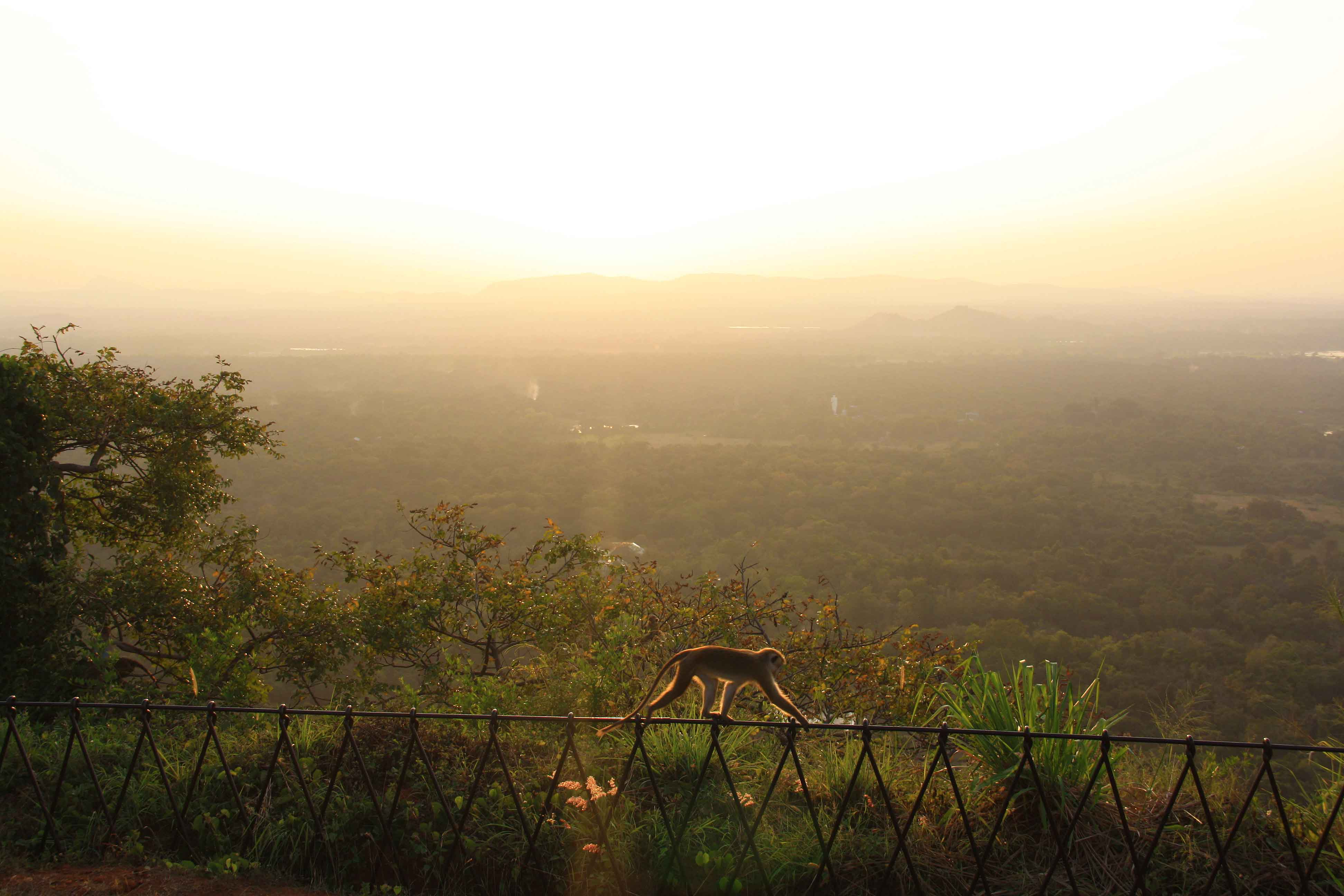 monkey view sunset sigiriya rock sri lanka