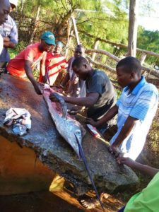 Marlin catch of fishermen in Ponta do Ouro mozambique