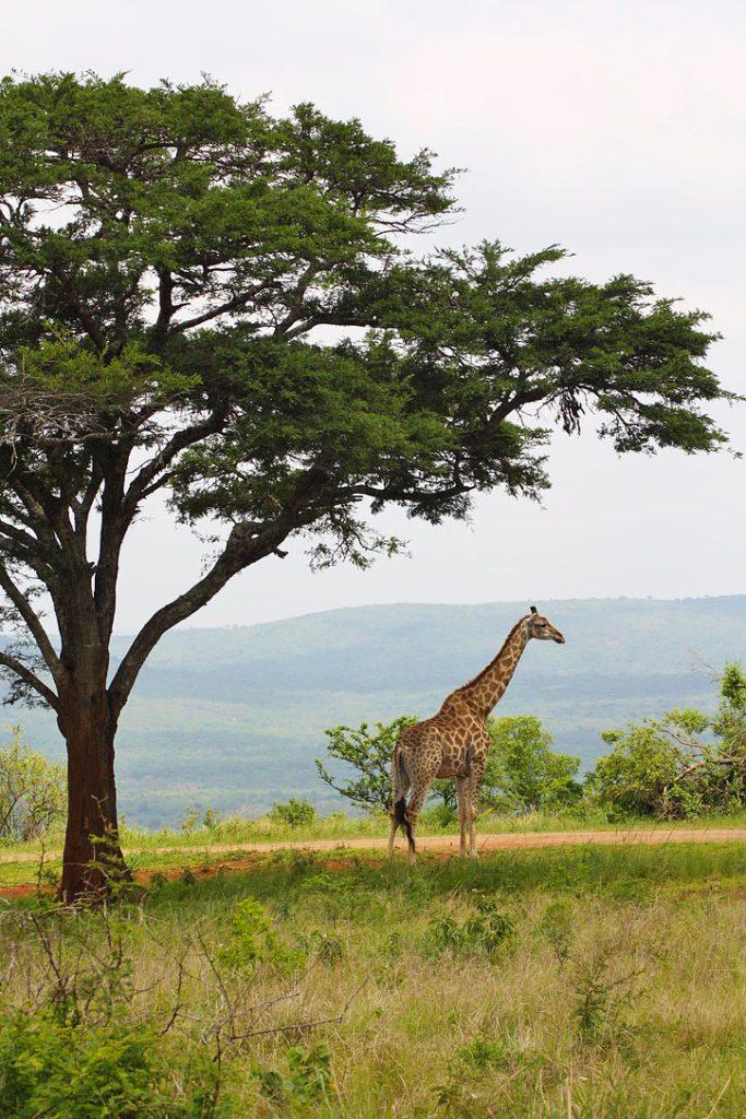 giraffe addo elephant park jeffreys bay surf destinations south africa