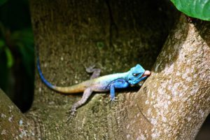 lizard ponta do ouro mozambique