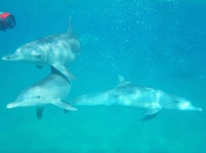 swimming dolphins conservancy project ponta do ouro mozambique