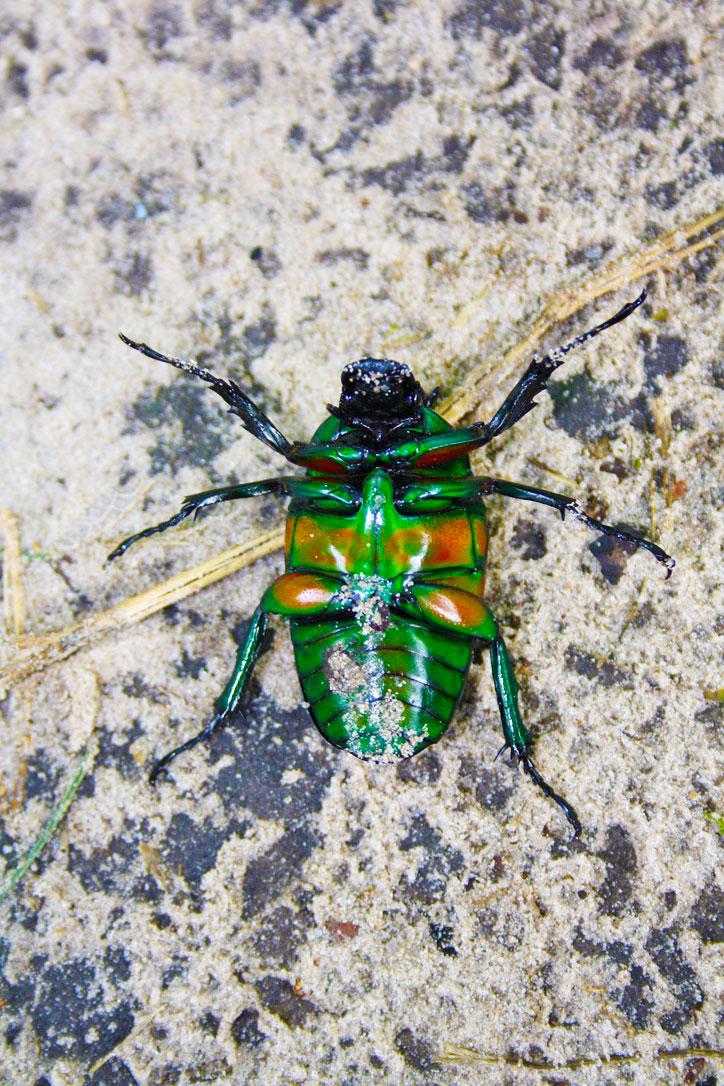 beetle okavango delta botswana