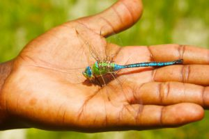 dragonfly botswana okavango delta