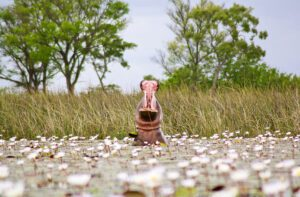 hippo okavango delta botswana
