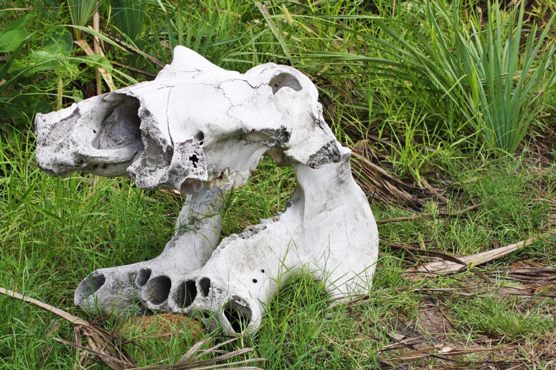 hippo skeleton okavango delta botswana