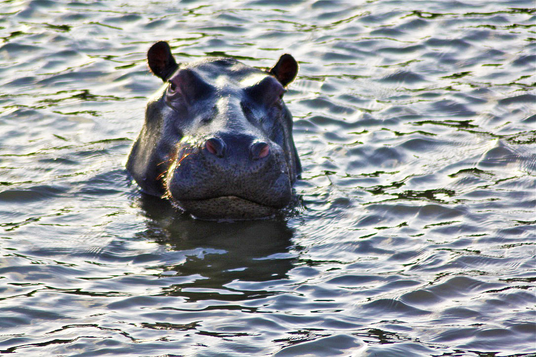 okavango delta hippo botswana