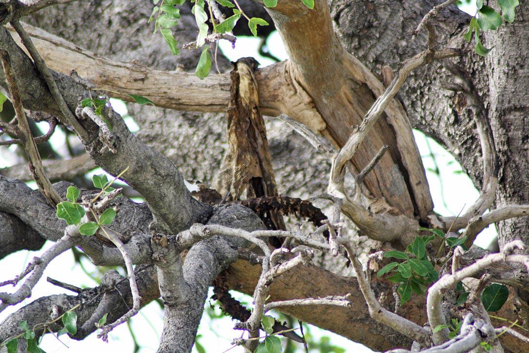 animal skeleton tree chobe national park botswana