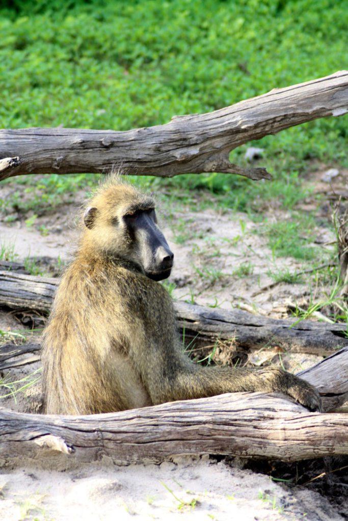 baboon chobe national park botswana