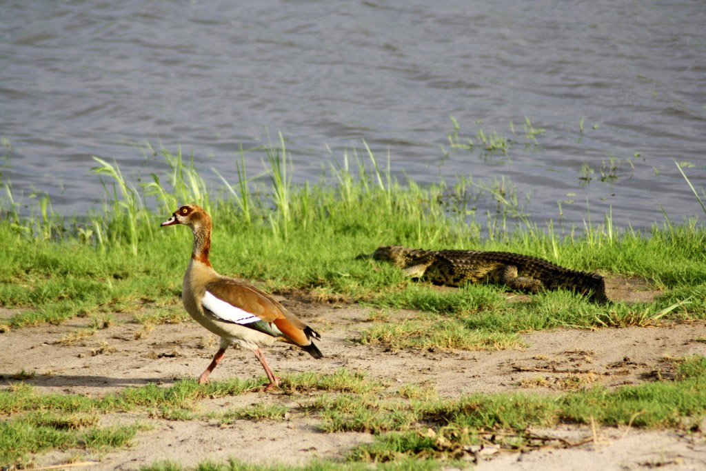 bird crocodile chobe river national park botswana