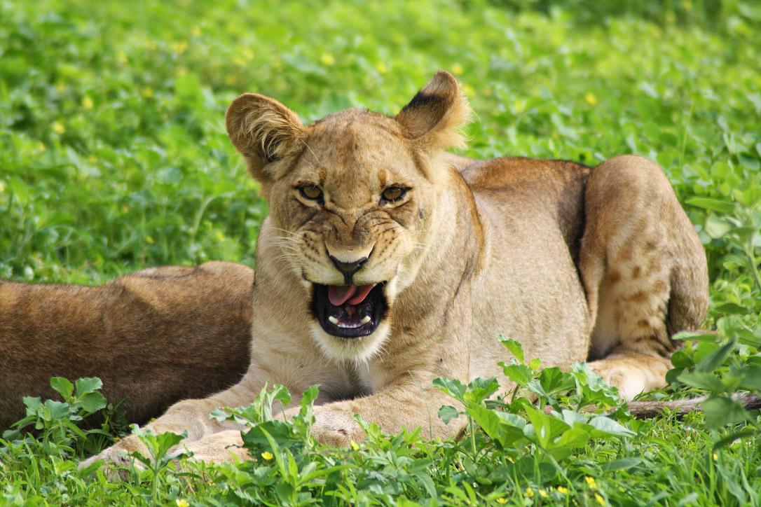 botswana chobe national park lion cub