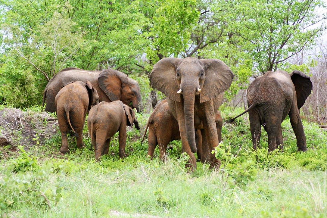 elephant herd chobe national park botswana