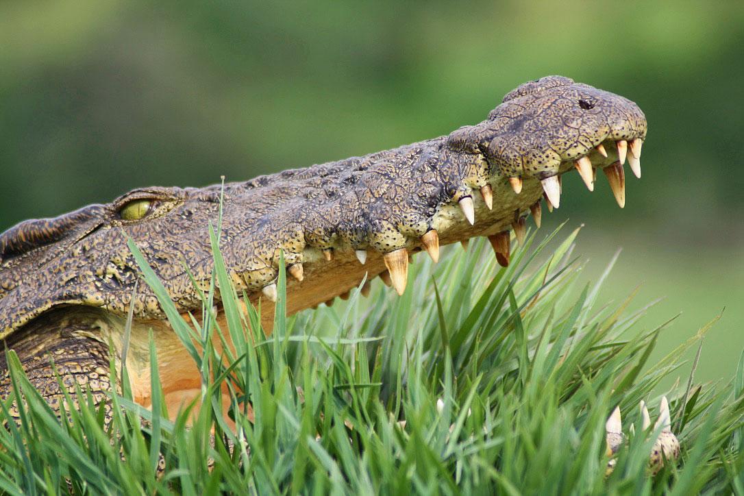 crocodile chobe river national park botswana