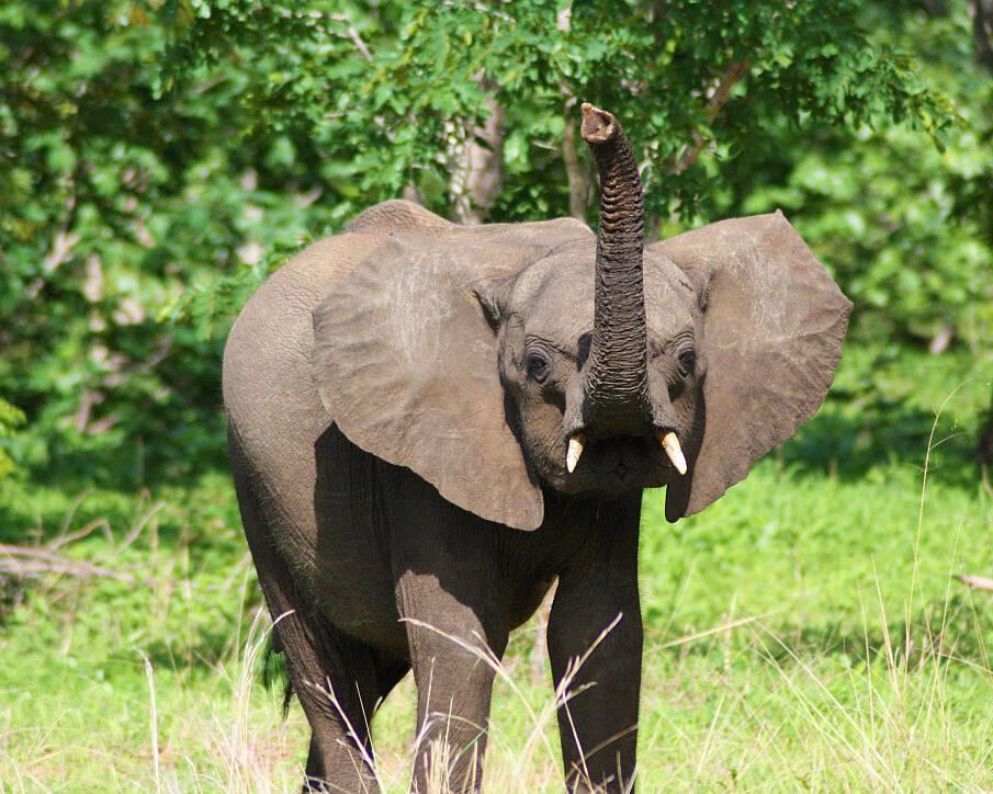 elephant chobe national park botswana