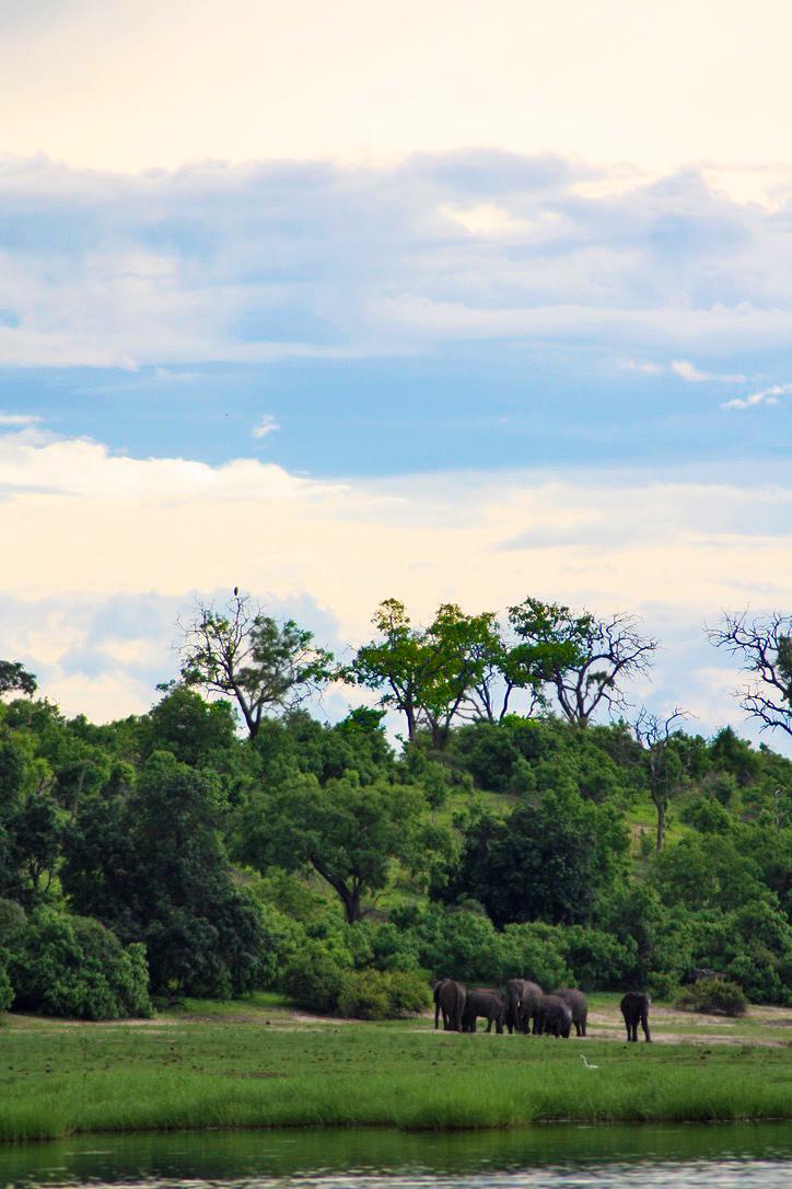 elephant heard chobe river national park botswana