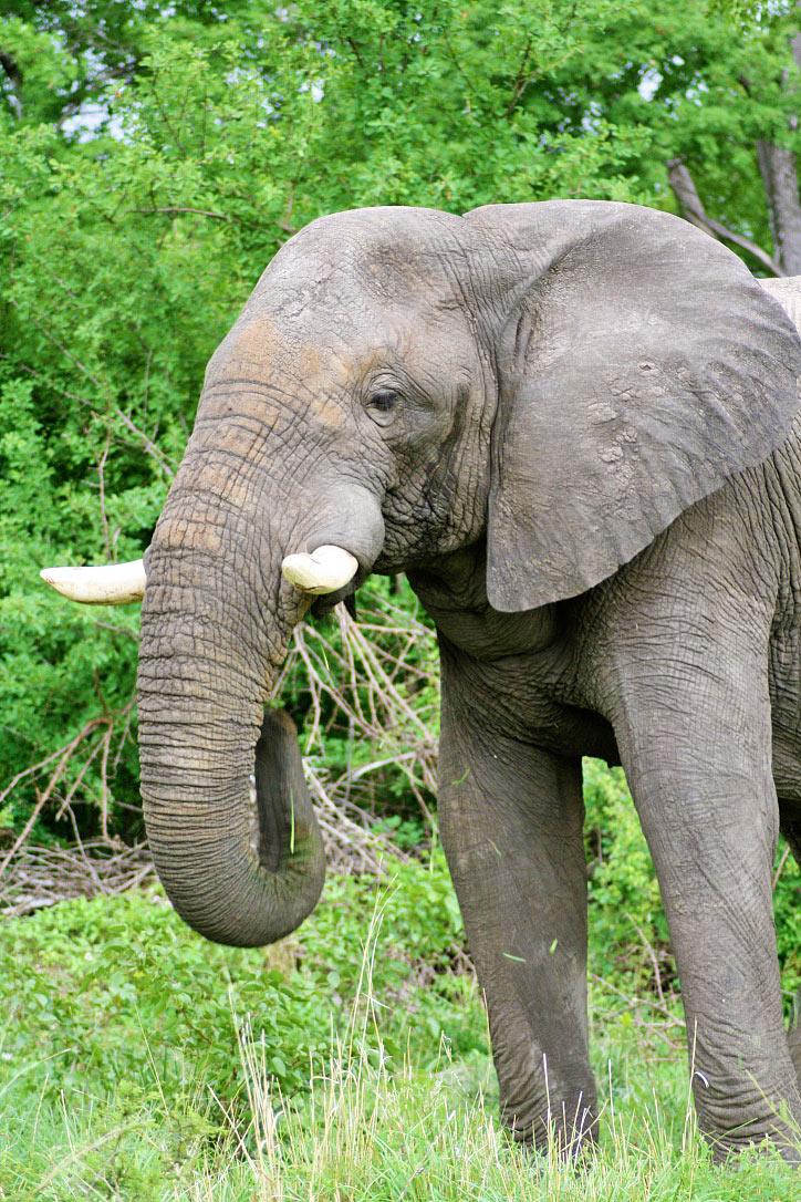 elephant wildlife safari chobe national park