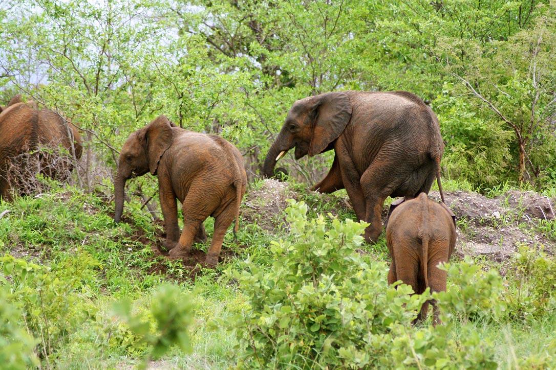 elephants botswana chobe national park
