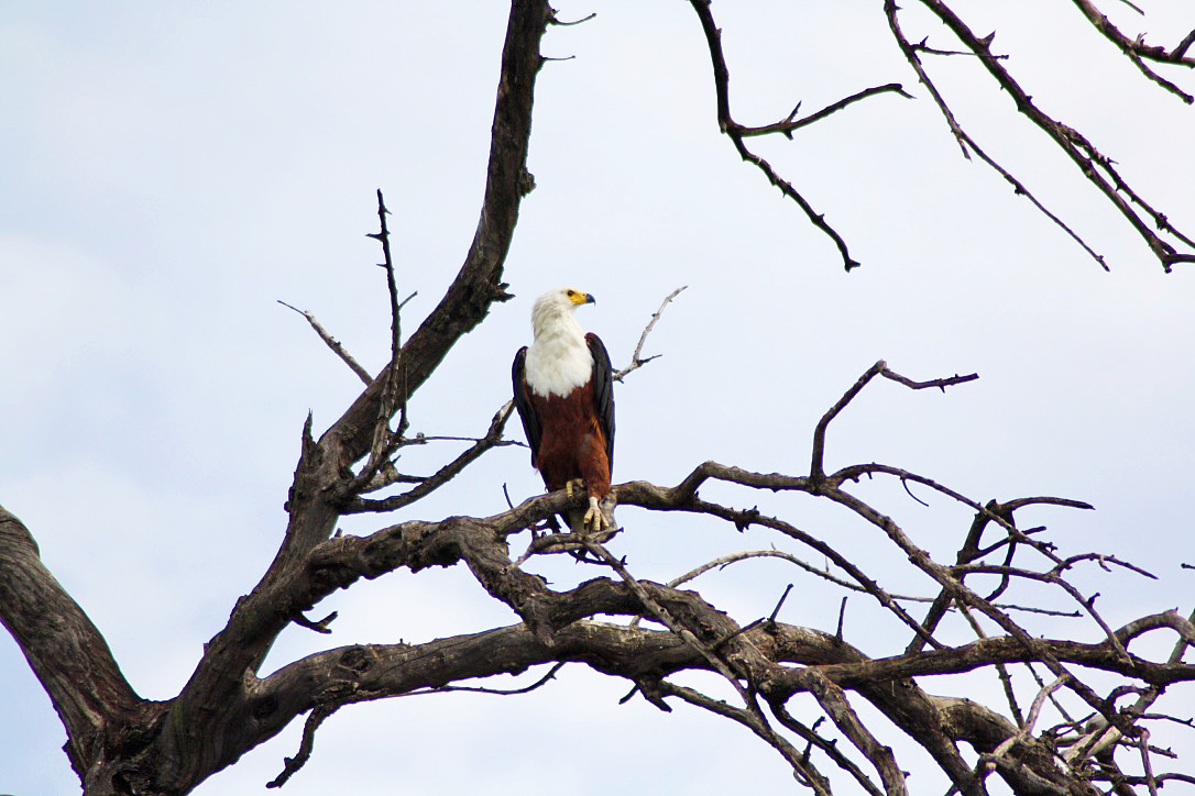 fish eagle chobe national park botswana