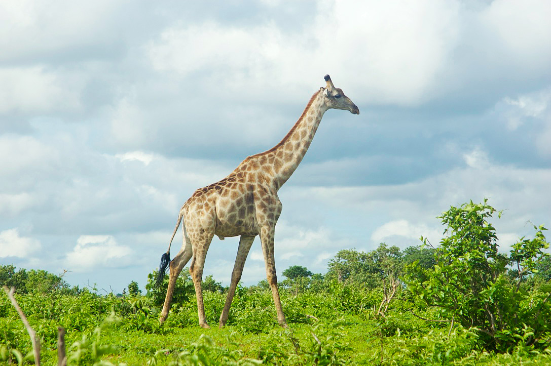 giraffe chobe national park botswana safari