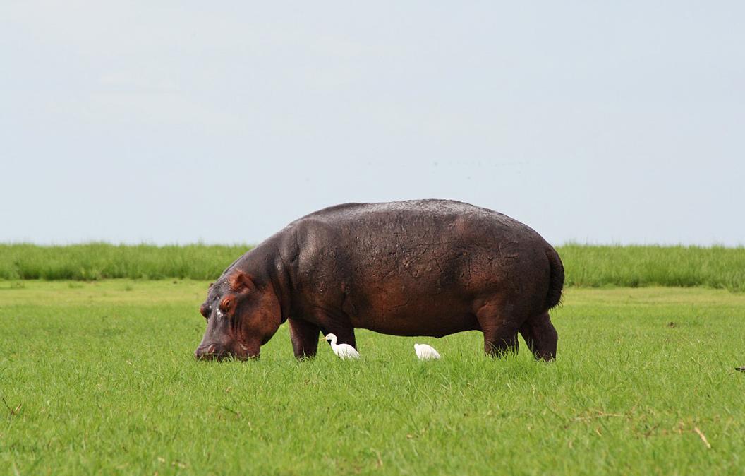 hippo chobe national park botswana